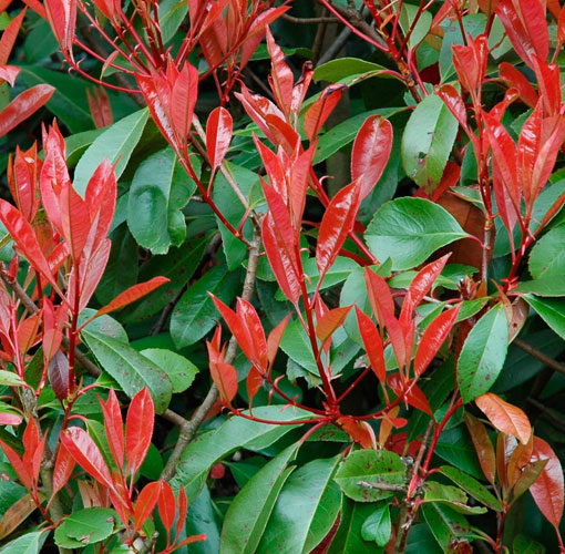 photinia perfraseri